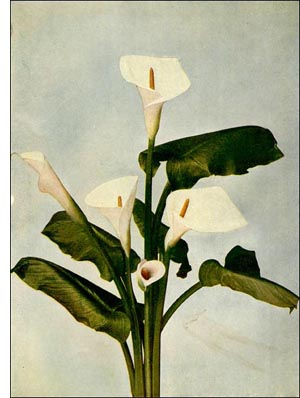 Calla Lily flower