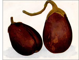 Egg Plant fruit