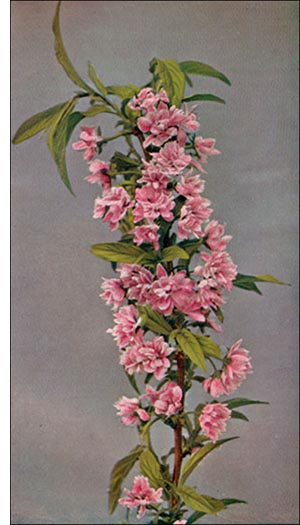 Flowering Almond flower