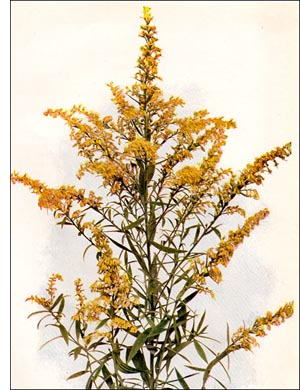 Golden Rod flower