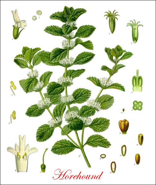 Horehound picture
