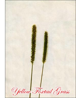 Yellow Foxtail Grass